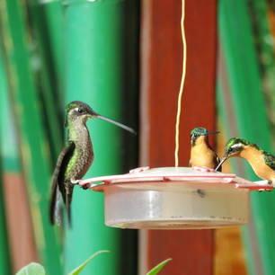 San-Gerardo-de-Dota-kolibrie-3(3)