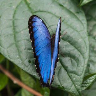 Bolivia-Blue-morpho-vlinder