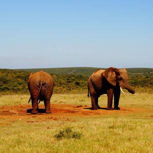 Zuid-Afrika-Addo-Olifanten2