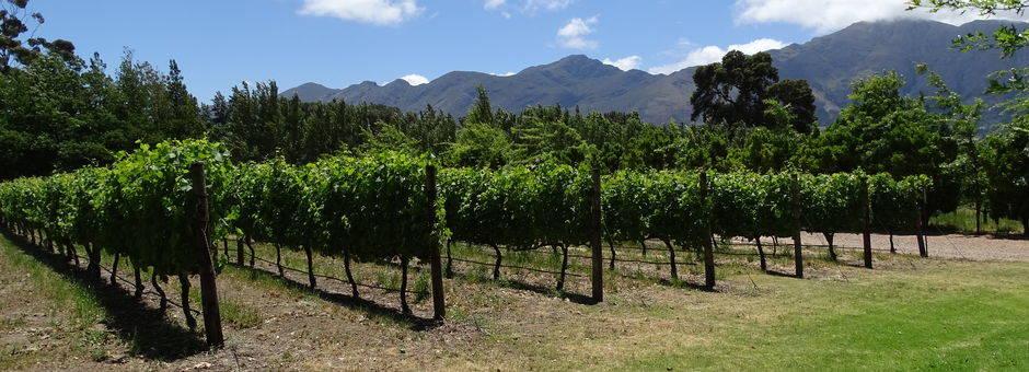De wijnranken in de Kaapse-wijnlanden, Zuid-Afrika