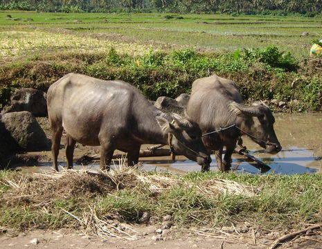 Indonesie-Java-buffels