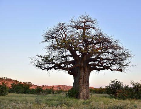 Limpopo Mapungubwe NP baobab (12)