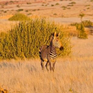 zebra in savanne(10)