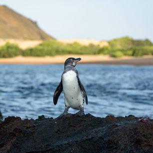 Galapagos-Bartolome-pinquin(2)