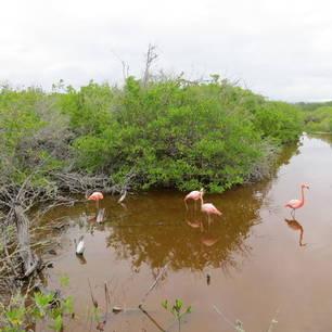 Flamingo's in de mangrove op Isabela
