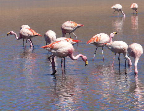 Flamingos-Uyuni-Bolivia