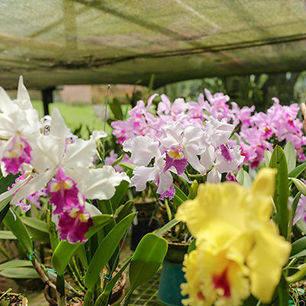 Orchideeën in Manizales