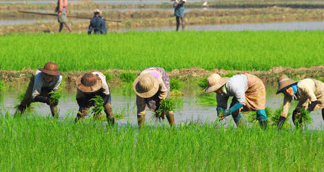 Myanmar-Pyay-rijst(4)