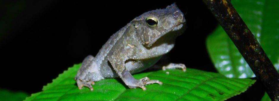 Colombia-Amazone-kikker