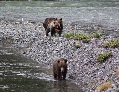Canada-Vancouver-Island-Campbell-River-Grizzly_1_506481