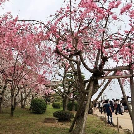 Kersenbloesem bij de Himeji Castle