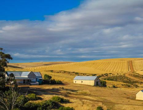 Deze argrarische omgeving kenmerkt zich door velden vol mais, zonnebloemen en schapen, Vrijstaat, Zuid-Afrika