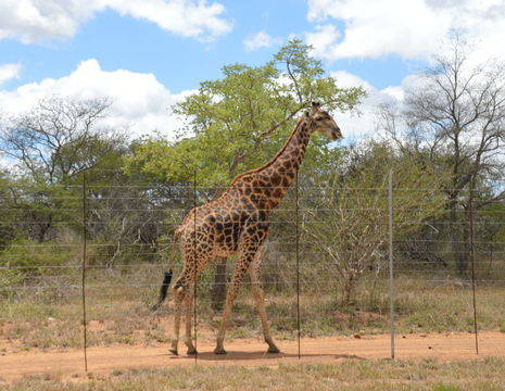 Kapama-Giraffe